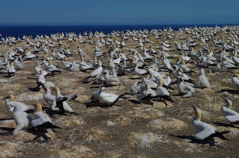 a colony of gannets ashore with blue sea in the background