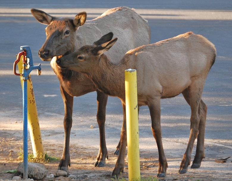 two elk standing near water spigot