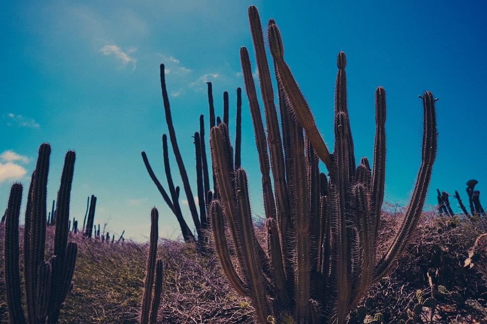 cactus