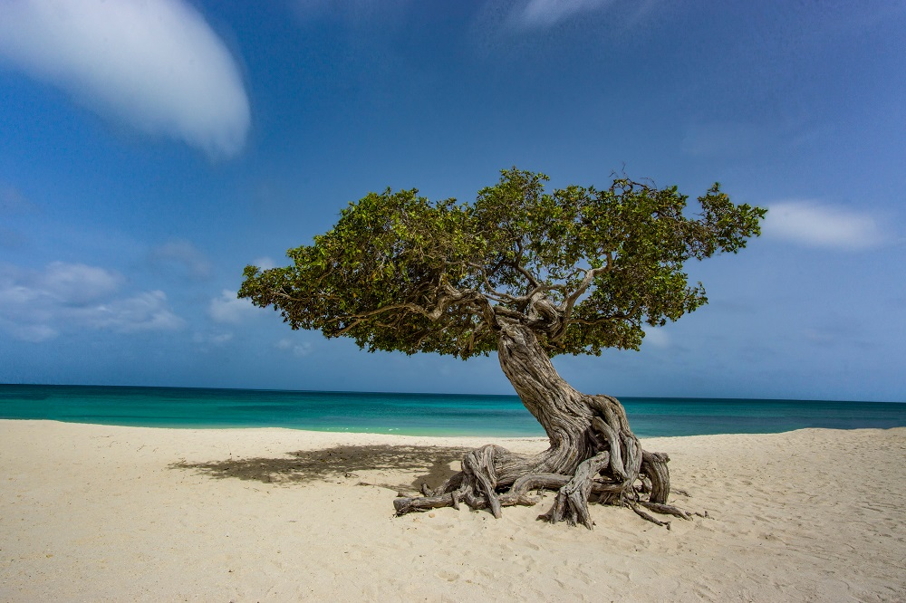 bonzai tree on white-sand beach